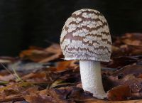 Coprinopsis picacea - Spechttintling