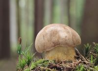 Tylopilus felleus  -  Gallenröhrling
